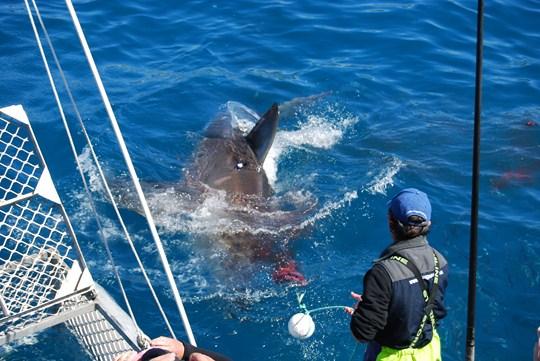 cage diving australie