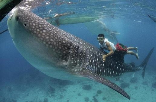 Voir requins baleines Philippines Oslob Philippines: nager avec les requins baleines à Oslob